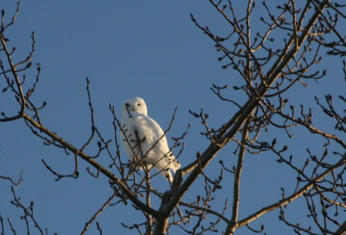 snowy owl two