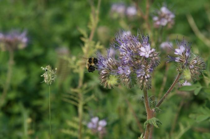 Bee on Phacilia forage two MBFI tour Aug 2017