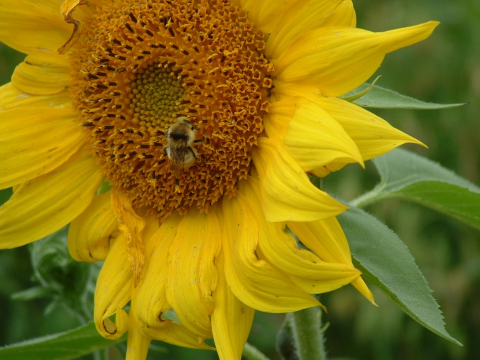 bee on sunflower two aug 2010
